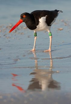 Coastal Birds:  The American Oystercatcher among them, are among the most susceptible to the effects of climate change because of their limited, low-elevation coastal habitats.