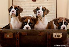 Boxer Puppies in a Suit Case by Tawnydal.Look at all those freckled noses!How sweet! Boxer Bulldog, Boxer Puppies, Dogs And Puppies, Boxer Love, Handmade Dog Collars, Family Dogs, Dog Gifts, Puppy Love, Best Dogs