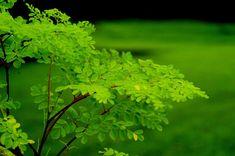 Si hay un árbol que deberías plantar en tu jardín ese es la moringa. Al menos, eso es lo que aseguran investigadores de todo el mundo. Objeto de muchos estudios en diversas partes del planeta, esta especie de Asia y África, es como una promesa para la lucha contra el hambre.