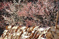 Ema wooden plates and plum blossoms at Yushima Tenjin