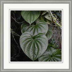 rd Erickson Framed Print featuring the photograph Green Heart Leaves Dioscorea Bulbifera by rd Erickson