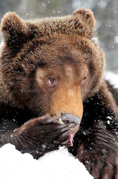 1cf6562396a Buy Bear by byrdyak on PhotoDune. Wild brown bear in winter forest