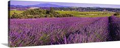 France, Provence, Lavender, vineyards and Mont Ventoux