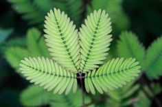 Sensitive plant (mimosa pudica), is an evergreen, low maintenance garden plant. Let us have a look at some of the instructions that will help you take care of this plant. Garden Plants, Indoor Plants, Indoor Gardening, Mimosa Plant, Sensitive Plant, House Plant Care, Low Maintenance Garden, Front Yard Landscaping, Gardens