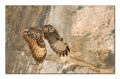 Last year we watched two Indian Eagle Owl chicks grow from featherballs to subadults. This is their story.