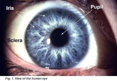 Gross Anatomy of the Eye by Helga Kolb – Webvision