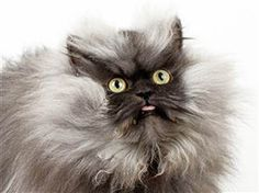 Colonel Meow, a 2-year-old Himalayan-Persian cat, has been inducted into the 2014 Guinness World Records as the cat with the longest fur