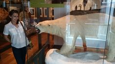 Polar bear in Exeter museum.