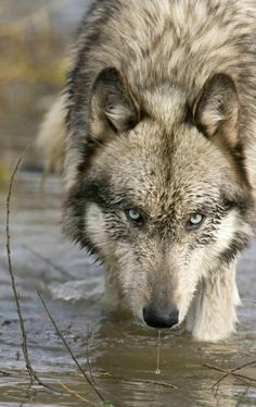 Let Us Be. Free. Save the Wolves.. Save Our Planet.