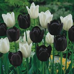 i dont know where to find black tulips but now that i know they exist i will have them at my wedding