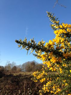 Nature's brilliant and bright perfection: the delicate yellow gorse flowers grow with thorns as their protection and their tiny petals come together a luminescent vision on the forest's edge. #gorse #yellow #flowers #beautiful #english #forest #newforest #winter #trees #bluesky #sunshine #sun #petals #bucolic #pastoral #scene #view #woods #nature #wild #romance #love