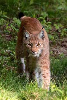 A Eurasian lynx faced off against a gray wolf in the Carpathian Mountains and the tense exchange was caught on camera.