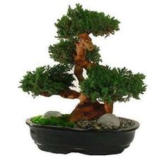 The art of Bonsai is a tradition dating back to the Han Dynasty of China and this tradition is still alive today at Forever Green Art. Preserved Bonsai are carefully sculpted making each piece a unique work of art that complements any setting. Indoor Bonsai Tree, Bonsai Plants, Indoor Plants, Bonsai Trees, Potted Plants, Plantas Bonsai, Forever Green, Patio Planters, Miniature Trees