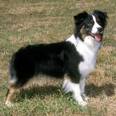 A smaller version of the Australian Shepherd, the Miniature #AustralianShepherd was developed during the 1960s by a Californian