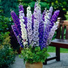 Delphinium Blue and White Mixed
