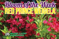 Red Prince Weigela - Bloom of the Week at Golden Plains Greenhouses (Kleefeld, Manitoba) Red Flowers, Prince, Bloom, Herbs, Greenhouses, Landscape, Plants, Green Houses, Scenery