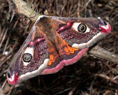Male Emperor Moth, UK. Photo by Chris Lythall