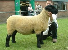 Former National Sheep Association chief John Thorley injected commercial realism to the interbreed title amid swollen sheep lines at Stafford Show Suffolk Sheep, Sheep Breeds, Mini Farm, Alpacas, Livestock, Poultry, Goats, Quilts, Nature