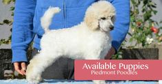 Here you can find details of our available Poodle & Dalmatian puppies and information on any upcoming litters Dalmatian Puppies, Dalmatians, Poodles, Amp, Dogs, Animals, Animales, Standard Poodles, Animaux
