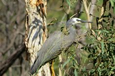 White-faced heron, Capricorn Coast
