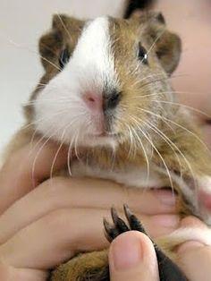 Me guinea pig