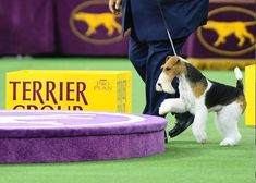 King the Wire Fox Terrier wins Best in Show at the Westminster Kennel Club Dog Show Fox Terriers, Wire Fox Terrier, Sussex Spaniel, Spaniel Breeds, Farm Dogs, Long Haired Dachshund, Havanese Dogs, Animal Games, Bichon Frise