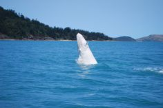 White humpback whale, Whitsundays, Great Barrier Reef