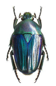Heterorrhiniola porphyretica Goliathini