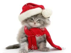 Joyeux Noël For more fun holiday cats, visit https://www.facebook.com/funholidaycats