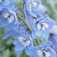 Delphinium pacific Magic Fountain Lys blå / Ridderspore
