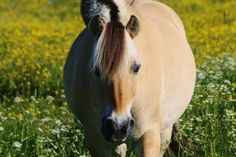 Fjord horse. It's so chubby!!!