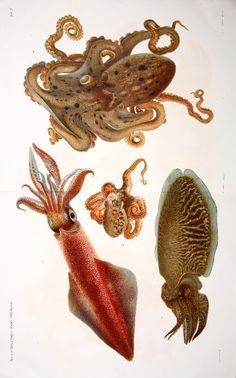 beautiful cephalopod lithographs