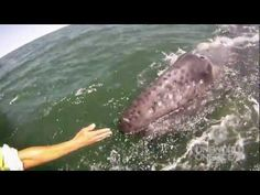 Mother whale lifts up her baby to see humans on boat - from the arms of the ocean!!