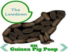 Guinea Pig Poop