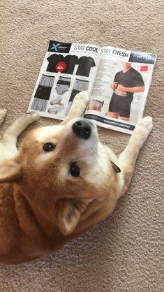 Teach your dog to read. #ShibaInu