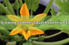The Gentry F1 is breed from the south. It has bright, yellow fruits with a crooked neck. They continue to produce even when things heat up. Summer refers to when it is grow and eaten. Winter squash is still grown in the summer time but harvested and eaten in the winter. CULTURE: When Growing Summer... - #squash #growing #summer #summer squash #seeds #vegetable