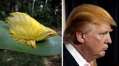 This Caterpillar Looks Like (Donald Trump's Hair 20 Funny Photos Of Animals That Look Just Like Famous People.)