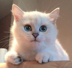 Azzurro cielo in un paio di occhi: ecco Coby, il gatto incantato