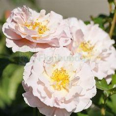Zdjęcie Twiggy's Rose  (Harteam)