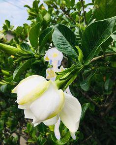 New The 10 Best Garden Ideas Today With Pictures クチナシ 咲いた くちなしの花 くちなしの花の香り は 高貴 で エレガント で他の花には真似できない 空気感 です 季節の花 Amazing Gardens Plants Garden