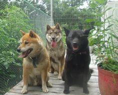 smaller and less stuburn than Hatchi  Shikoku dog 4