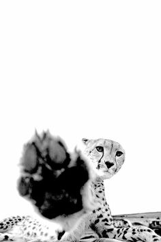 F & O Fabforgottennobility - F & O Fabforgottennobility – Dopediamond: Dope… Cheetah von Joe Bunni - Tier Wallpaper, Animal Wallpaper, Black And White Photo Wall, Black And White Pictures, Zebras, Wildlife Photography, Animal Photography, Beautiful Creatures, Animals Beautiful