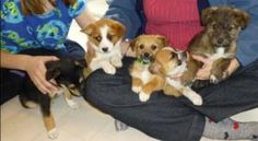 GG_Golden Girls Litter is an adoptable Australian Shepherd Dog in Palo Alto, CA.  The Golden Girls are 5 precious female puppies full of love. We think they may be a mix of Aussie, Shepherd, and perh...