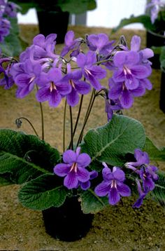 Easy To Grow Houseplants Clean the Air Streptocarpus 'Paula' Another Gorgeous British Hybrid That I Never See Offered In The Us Indoor Flowering Plants, Blooming Plants, Garden Plants, House Plants, Purple Flowers, Beautiful Flowers, Orquideas Cymbidium, Violet Plant, Miniature Plants