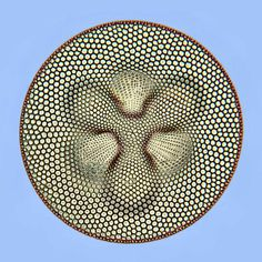 30 Images Of Life Under A Microscope -  A DIATOM AT 500X MAGNIFICATION.