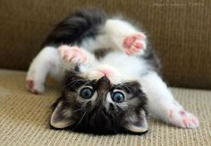 A small kitten lying on its back looking upside down towards the camera.