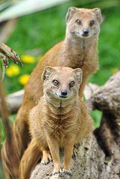 File:Yellow Mongoose (7006325750) (2).jpg