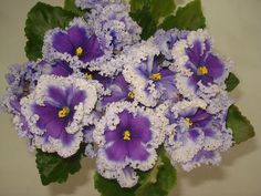 """This is not your supermarket variety of African violet. This was clearly produced by a master breeder. Such frills. flower size and colour! """"Partly Cloudy"""" (спорт) (Bonne)"""