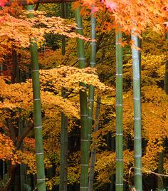 Maples and bamboo in autumn.