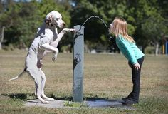 An extremely courteous dog helped a girl get a drink of water from the fountain.